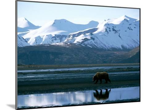 A Grizzly Bear Walks on a Mud Flat-Joel Sartore-Mounted Photographic Print