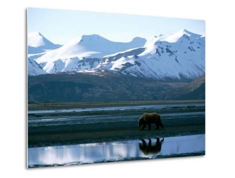 A Grizzly Bear Walks on a Mud Flat-Joel Sartore-Metal Print