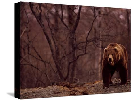 A Grizzly Bear-Joel Sartore-Stretched Canvas Print
