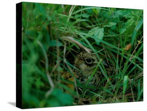 Attwaters Prairie-Chicken Hidden in the Grass-Joel Sartore-Stretched Canvas Print