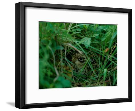 Attwaters Prairie-Chicken Hidden in the Grass-Joel Sartore-Framed Art Print