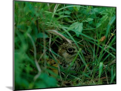 Attwaters Prairie-Chicken Hidden in the Grass-Joel Sartore-Mounted Photographic Print