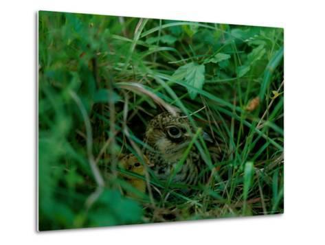 Attwaters Prairie-Chicken Hidden in the Grass-Joel Sartore-Metal Print