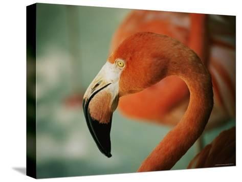 A Close View of the Curved Neck and Beak of a Pink Flamingo-Stephen St^ John-Stretched Canvas Print