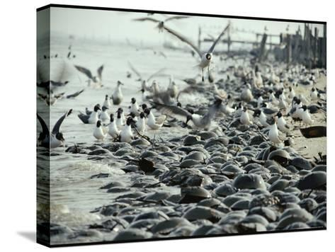 Laughing Gulls Feed on Eggs Left by Mating Horseshoe Crabs-Robert Sisson-Stretched Canvas Print