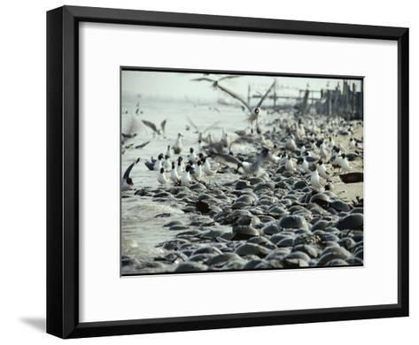 Laughing Gulls Feed on Eggs Left by Mating Horseshoe Crabs-Robert Sisson-Framed Art Print