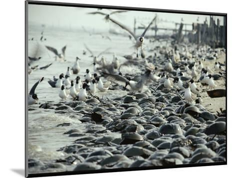 Laughing Gulls Feed on Eggs Left by Mating Horseshoe Crabs-Robert Sisson-Mounted Photographic Print