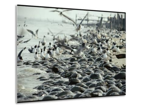 Laughing Gulls Feed on Eggs Left by Mating Horseshoe Crabs-Robert Sisson-Metal Print