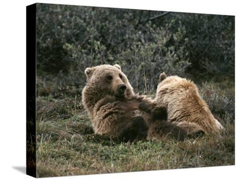 A Grizzly Mother and Her Cub Lounge Together-Michael S^ Quinton-Stretched Canvas Print