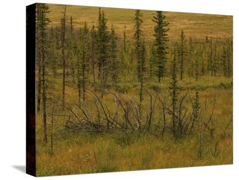 A Scenic View of a Spruce Bog-Raymond Gehman-Stretched Canvas Print