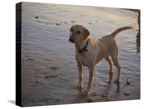 A Dog Waits for a Ball to Be Thrown into the Ocean-Stacy Gold-Stretched Canvas Print