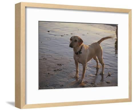 A Dog Waits for a Ball to Be Thrown into the Ocean-Stacy Gold-Framed Art Print