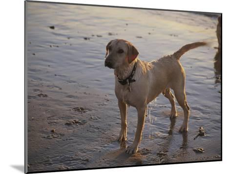 A Dog Waits for a Ball to Be Thrown into the Ocean-Stacy Gold-Mounted Photographic Print