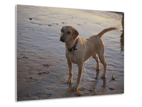 A Dog Waits for a Ball to Be Thrown into the Ocean-Stacy Gold-Metal Print