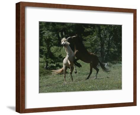 Wild Horses Spar over Territory or Mares-Chris Johns-Framed Art Print