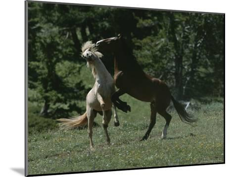 Wild Horses Spar over Territory or Mares-Chris Johns-Mounted Photographic Print