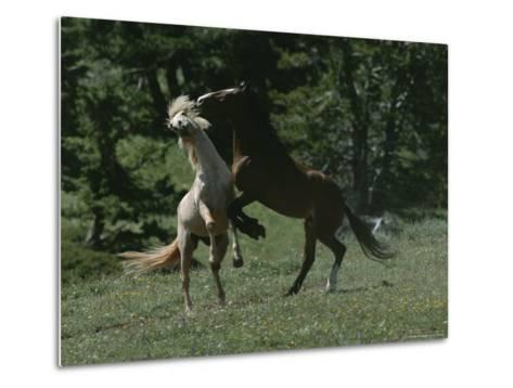 Wild Horses Spar over Territory or Mares-Chris Johns-Metal Print