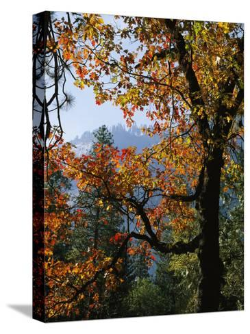 A Black Oak Tree (Quercus Kelloggii) in Yosemite Valley-Marc Moritsch-Stretched Canvas Print