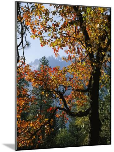 A Black Oak Tree (Quercus Kelloggii) in Yosemite Valley-Marc Moritsch-Mounted Photographic Print