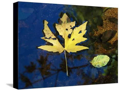 A Big Leaf Maple Leaf Floats Down the Merced River-Marc Moritsch-Stretched Canvas Print