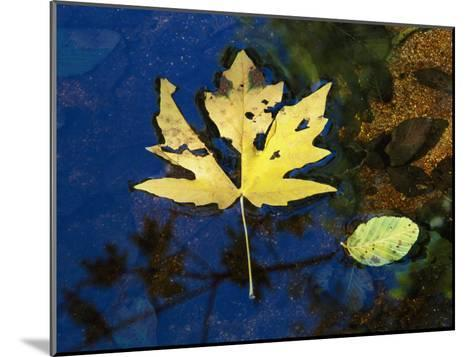 A Big Leaf Maple Leaf Floats Down the Merced River-Marc Moritsch-Mounted Photographic Print