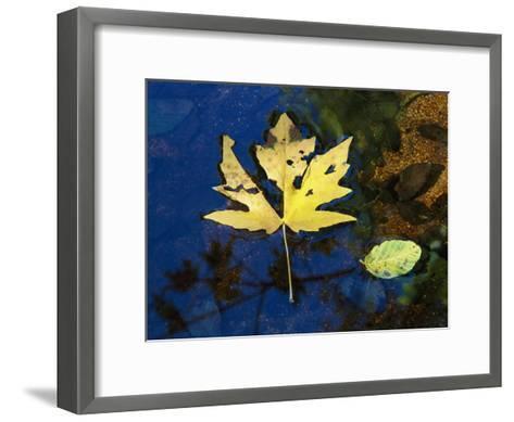 A Big Leaf Maple Leaf Floats Down the Merced River-Marc Moritsch-Framed Art Print