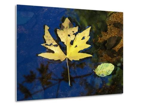 A Big Leaf Maple Leaf Floats Down the Merced River-Marc Moritsch-Metal Print
