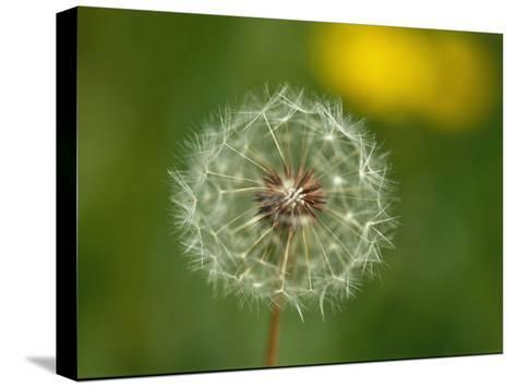 Close View of a Dandelion Gone to Seed-Nicole Duplaix-Stretched Canvas Print