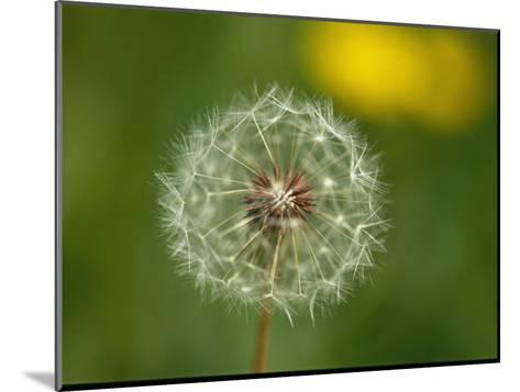Close View of a Dandelion Gone to Seed-Nicole Duplaix-Mounted Photographic Print
