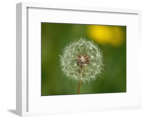 Close View of a Dandelion Gone to Seed-Nicole Duplaix-Framed Art Print
