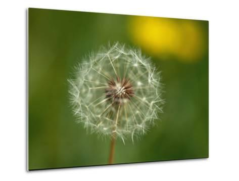 Close View of a Dandelion Gone to Seed-Nicole Duplaix-Metal Print