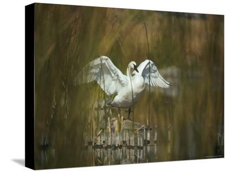 A Trumpeter Swan Stands on a Rock Flexing His Wings-Michael S^ Quinton-Stretched Canvas Print