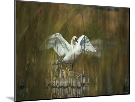A Trumpeter Swan Stands on a Rock Flexing His Wings-Michael S^ Quinton-Mounted Photographic Print