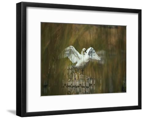 A Trumpeter Swan Stands on a Rock Flexing His Wings-Michael S^ Quinton-Framed Art Print