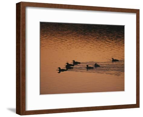 A Group of Common Loons Swims Across a Lake Early in the Morning-Michael S^ Quinton-Framed Art Print