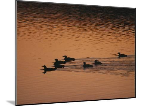 A Group of Common Loons Swims Across a Lake Early in the Morning-Michael S^ Quinton-Mounted Photographic Print