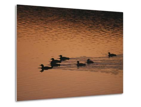 A Group of Common Loons Swims Across a Lake Early in the Morning-Michael S^ Quinton-Metal Print