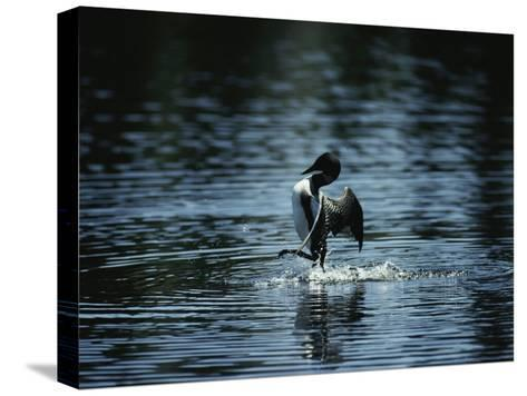 A Loon Appears to Be Shaking Water from its Plumage-Michael S^ Quinton-Stretched Canvas Print