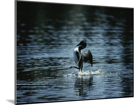 A Loon Appears to Be Shaking Water from its Plumage-Michael S^ Quinton-Mounted Photographic Print