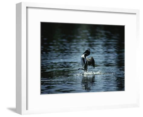 A Loon Appears to Be Shaking Water from its Plumage-Michael S^ Quinton-Framed Art Print