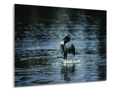 A Loon Appears to Be Shaking Water from its Plumage-Michael S^ Quinton-Metal Print