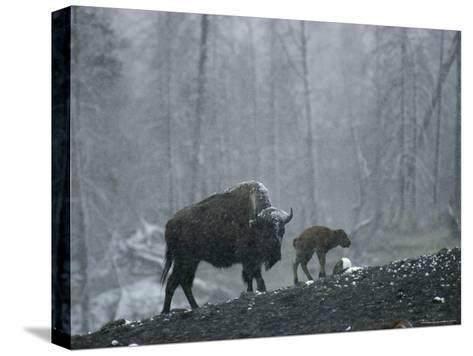 An American Bison Cow with Her Newborn Calf in the Woods-Michael S^ Quinton-Stretched Canvas Print