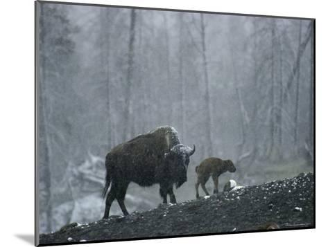 An American Bison Cow with Her Newborn Calf in the Woods-Michael S^ Quinton-Mounted Photographic Print