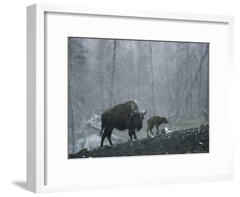 An American Bison Cow with Her Newborn Calf in the Woods-Michael S^ Quinton-Framed Art Print
