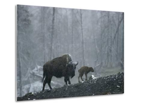 An American Bison Cow with Her Newborn Calf in the Woods-Michael S^ Quinton-Metal Print