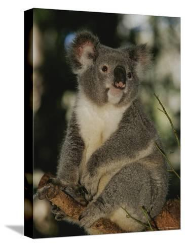 A Koala Clings to a Eucalyptus Tree in Eastern Australia-Nicole Duplaix-Stretched Canvas Print