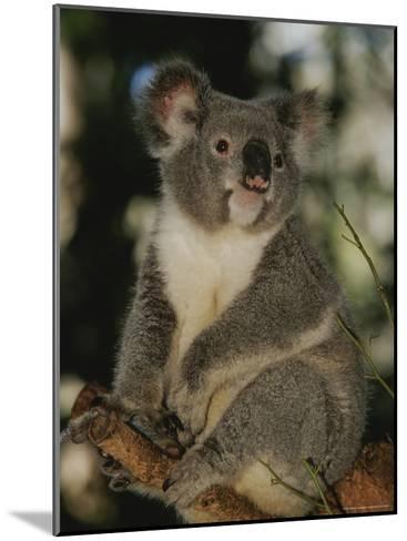 A Koala Clings to a Eucalyptus Tree in Eastern Australia-Nicole Duplaix-Mounted Photographic Print