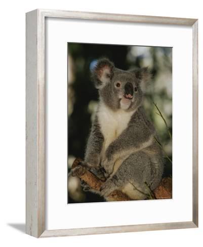A Koala Clings to a Eucalyptus Tree in Eastern Australia-Nicole Duplaix-Framed Art Print
