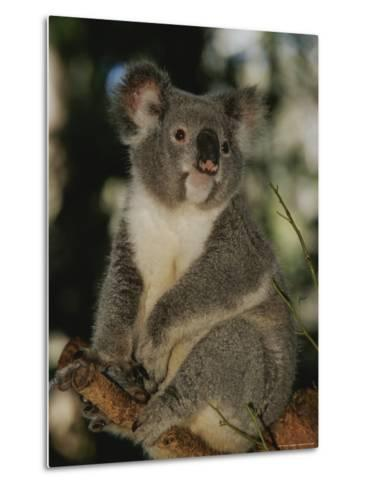 A Koala Clings to a Eucalyptus Tree in Eastern Australia-Nicole Duplaix-Metal Print