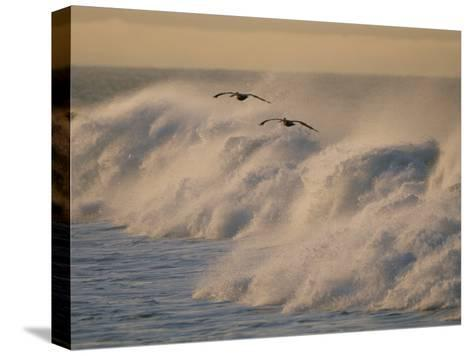A Pair of Brown Pelicans Glides Above the Surf on Offshore Winds--Stretched Canvas Print